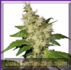 Dutch Passion Night Queen Female 10 Seeds